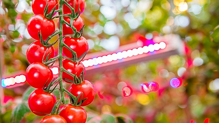 After a taster, French tomato farm goes for a bigger course of LED-aided horticulture