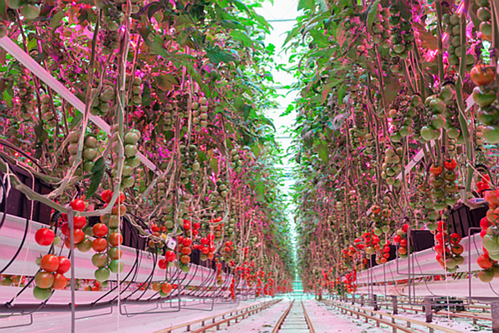 Philips Lighting reports LED lighting grows tastier tomatoes year round