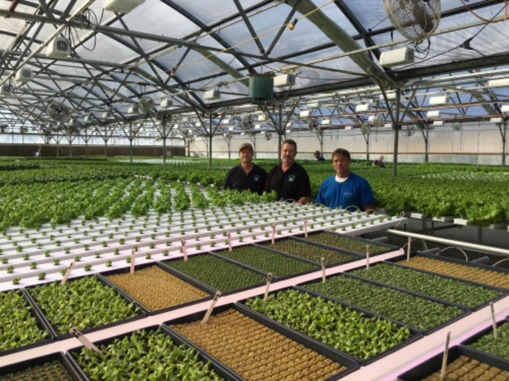 Greenhouse boosts lettuce yield with Heliospectra LED based horticultural lighting
