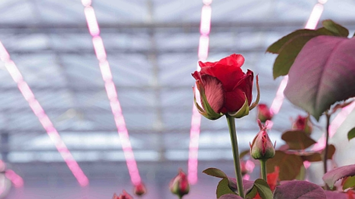 """The name of the rose is """"bigger"""" under Philips' specially tuned GreenPower horticultural lighting. (Photo credit: Philips Lighting.)"""