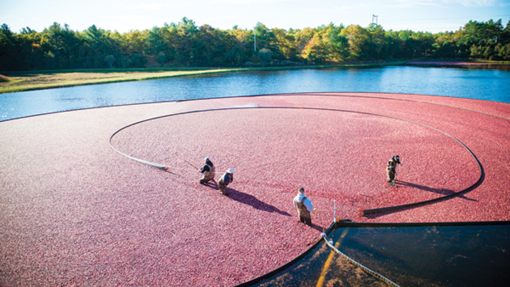 Getting bogged down is good for cranberries but not for lighting operations. Ocean Spray's networked LED lights will soon serve as asset trackers in the company's Middleboro, MA plant, which processes cranberries from farms like this one. (Photo credit: Ocean Spray via Businesswire.)