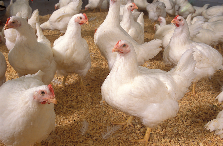 Once says that its lights can help broiler chickens like these keep calm and carry on eating. [Photo credit: Image courtesy of US Department of Agriculture (USDA) Agricultural Research Service (ARS); available in the public domain. Photo by Stephen Ausmus.]