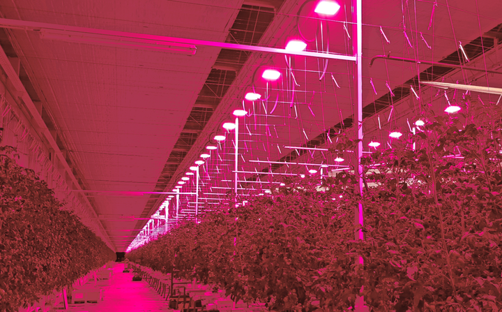 These tomatoes are in the pink at Tomato Masters' Deinze, Belgium indoor farm, under Hyperion LED grow lights from Plessey. (Photo credit: Image courtesy of Plessey Semiconductors.)