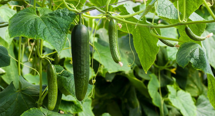 The latest horticultural news features investment at Pure Harvest, an R&D lab launch by Light Science Technologies, and new LED-based horticultural SSL projects featuring Fluence technology for cucumber and cannabis growing. (Photo credit: Image by Julia Schwab via Pixabay; used under free license for commercial or non-commercial purposes. Image is not representative of a specific project or installation.)